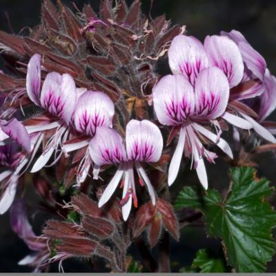 Pelargonium cordifolium (heart-leaved pelargonium)