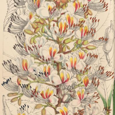 Aescululus indica (Curtis illustration)