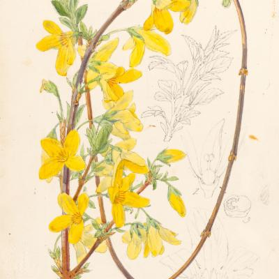 Forsythia suspensa (Curtis illustration)