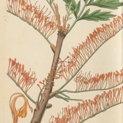 Grevillea robusta (Curtis illustration)