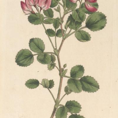 Ononis rotundifolia (Curtis illustration)