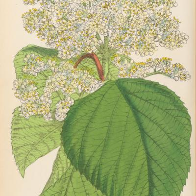 Viburnum dilatatum (Curtis illustration)
