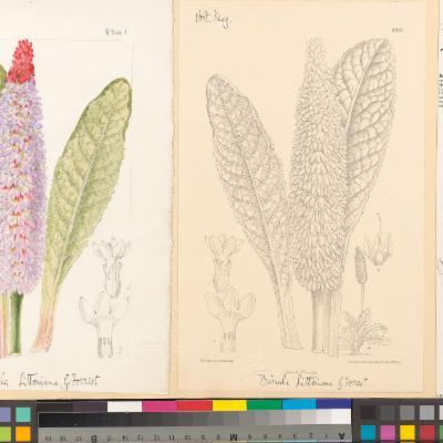 Primula vialii (Curtis illustration)