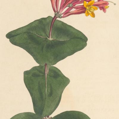 Lonicera sempervirens (Curtis illustration)