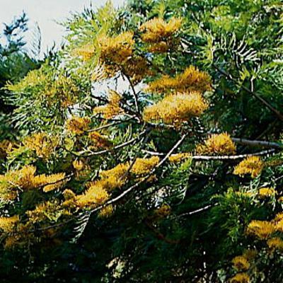 Grevillea robusta (silky oak)