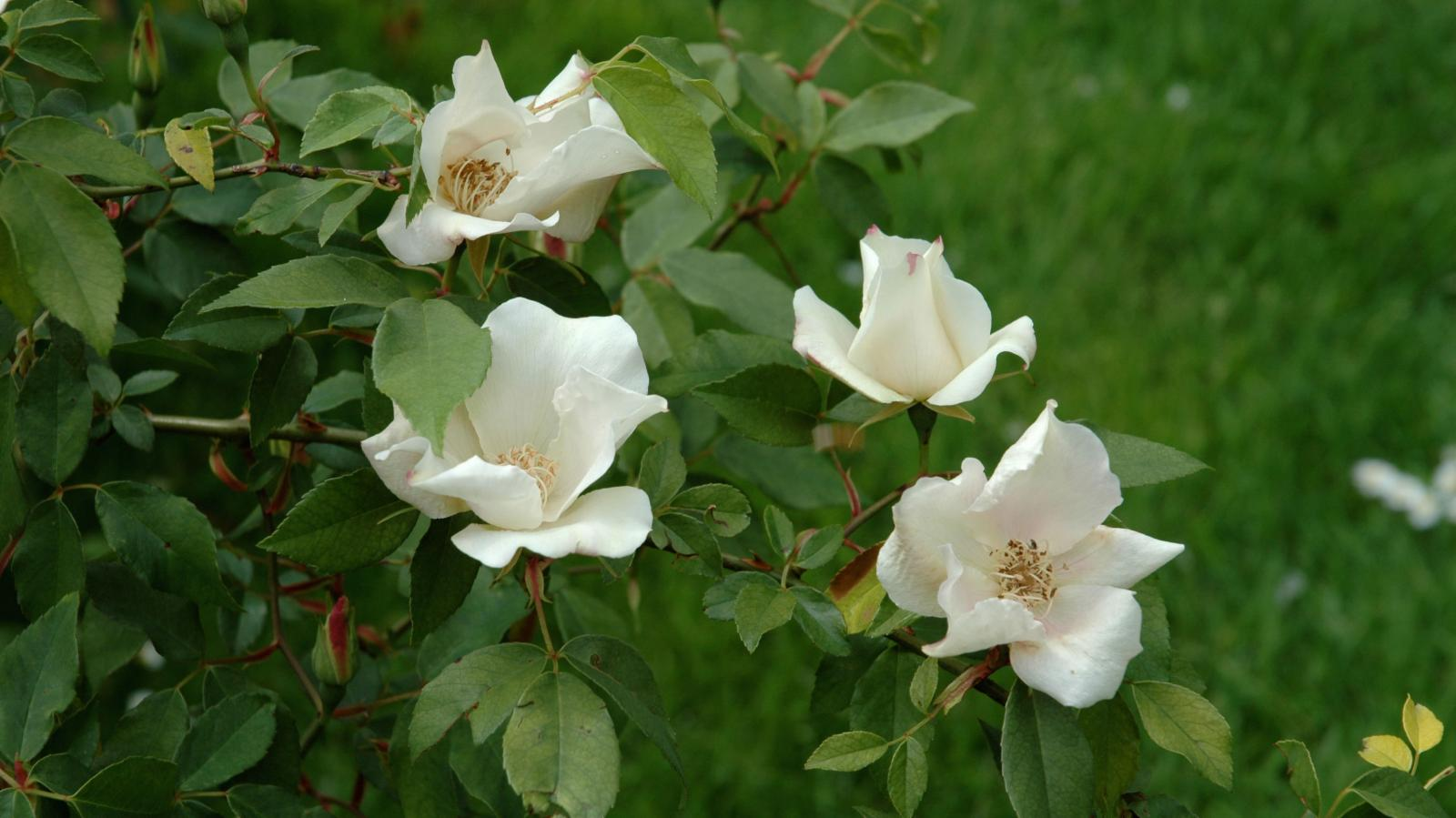 Rosa chinensis jacq plants of the world online kew - Rosas chinas ...