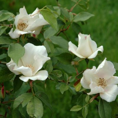 Rosa chinensis (China rose)