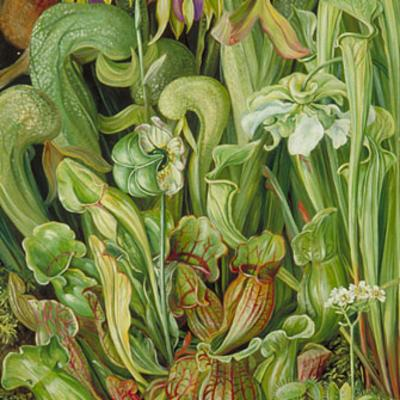 North American Carnivorous Plants - Marianne North painting