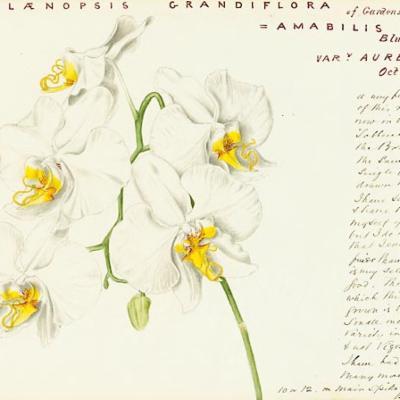Phalaenopsis amabilis john day painting