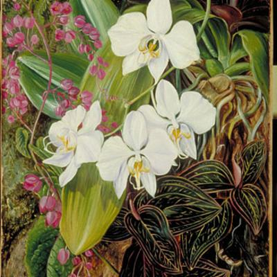 Malayan Moth Orchid and an American Climber- Marianne North painting
