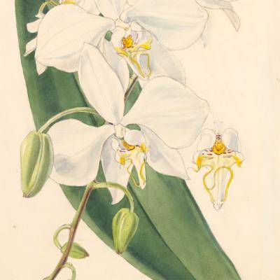 Phalaenopsis amabilis (Curtis illustration)
