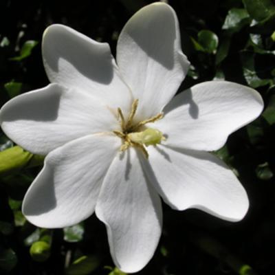 Gardenia thunbergia (white gardenia)