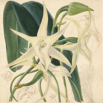 Angraecum sesquipedale (Curtis illustration)