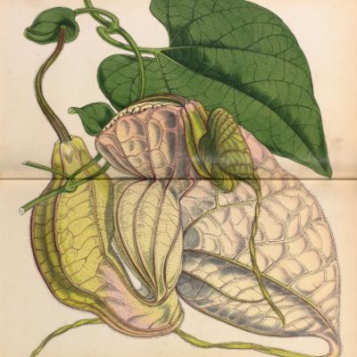 Aristolochia grandiflora (Curtis illustration)