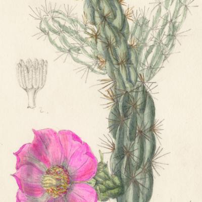 Cylindropuntia imbricata (Curtis illustration)