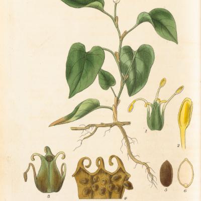 Houttuynia cordata (Curtis illustration)