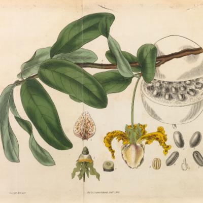 Monodora myristica (Curtis illustration)