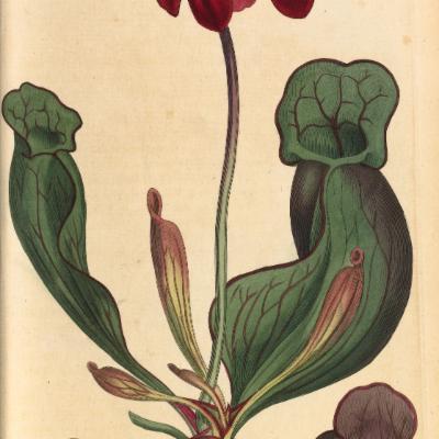 Sarracenia purpurea (Curtis illustration)