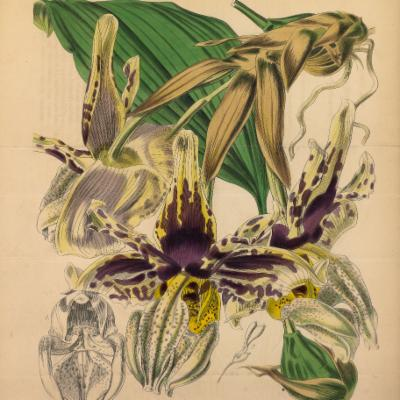 Stanhopea tigrina (Curtis illustration)