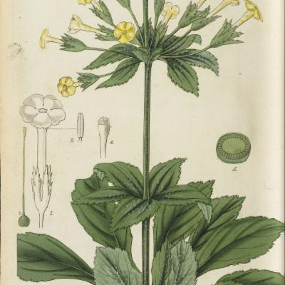 Primula verticillata (Curtis illustration)