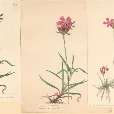 Dianthus carthusianorum (Curtis illustration)