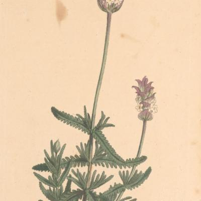 Lavandula dentata (Curtis illustration)