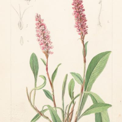 Persicaria affinis (Curtis illustration)
