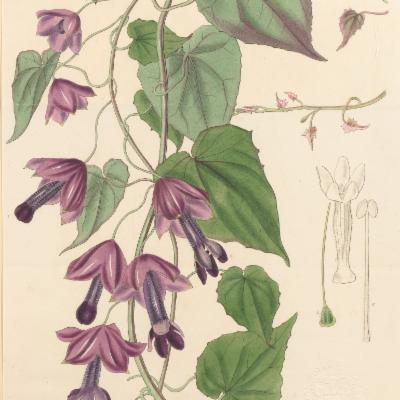 Rhodochiton atrosanguineum (Curtis illustration)