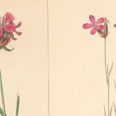 Dianthus carthusianorum (Carthusian pink)