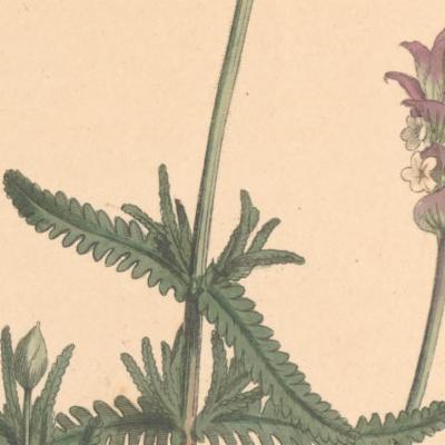 Lavandula dentata (fringed lavender)