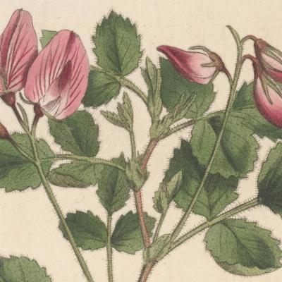 Ononis rotundifolia (round-leaved restharrow)