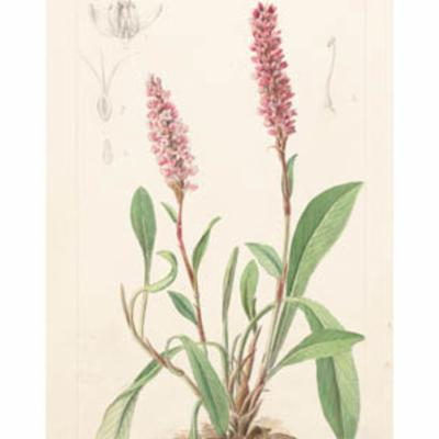 Persicaria affinis (knot weed)