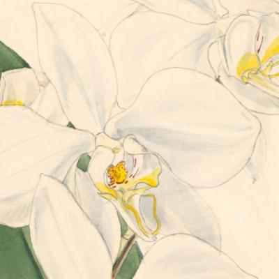 Phalaenopsis amabilis (moth orchid)