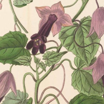 Rhodochiton atrosanguineus (purple bell vine)