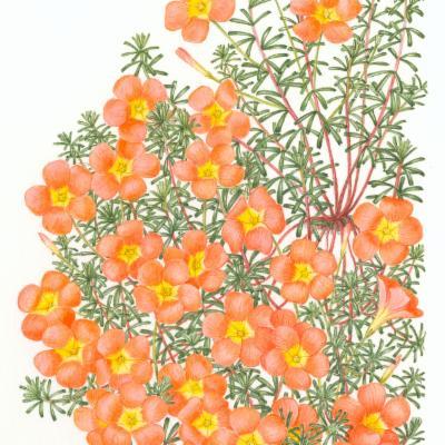 Oxalis massoniana