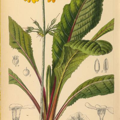 Primula bulleyana (Curtis illustration)