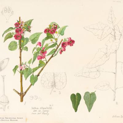 Vallea stipularis (Curtis illustration)