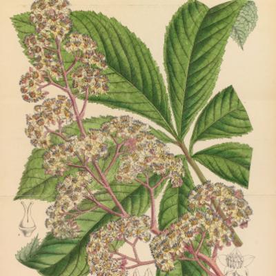 Rodgersia pinnata (Curtis illustration)