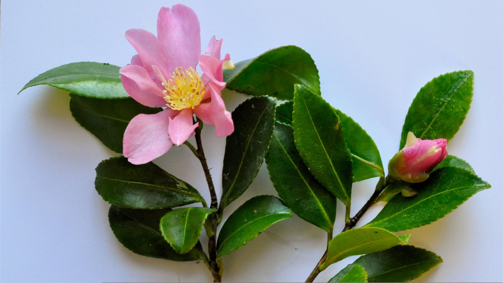 Camellia sasanqua thunb plants of the world online for Camelia sasanqua