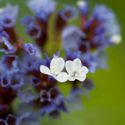 Limonium arborescens (tree sea lavender)
