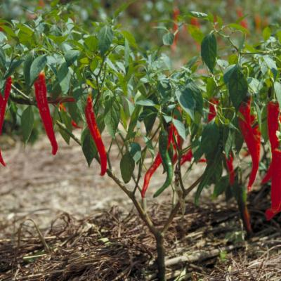 Capsicum annuum (chilli pepper)