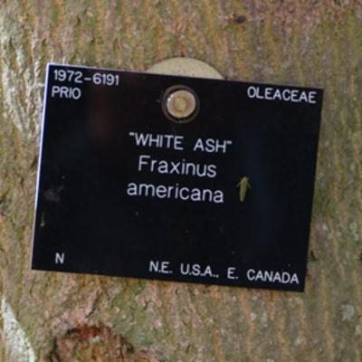 Fraxinus americana white ash label