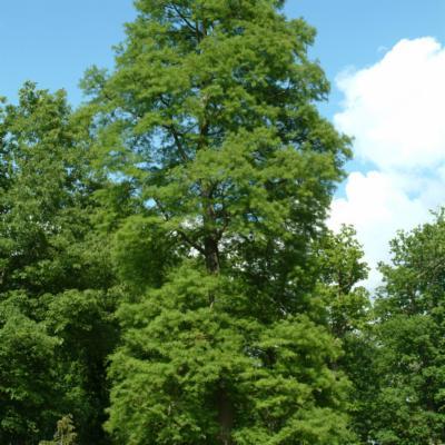 Taxodium distichum bald cypress