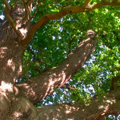 Quercus robur at Kew