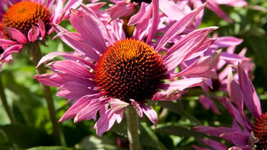 Echinacea purpurea (L.) Moench   Plants of the World Online   Kew Science