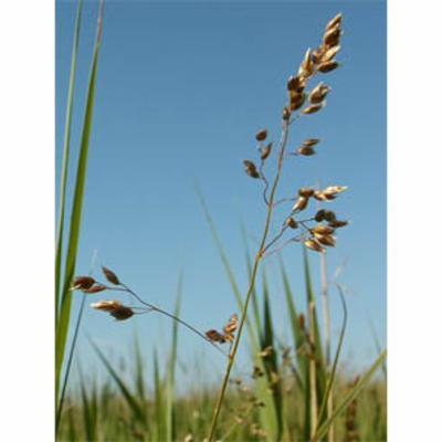 Hierochloe odorata (sweet grass)