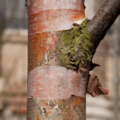 Betula papyrifera (paper birch)