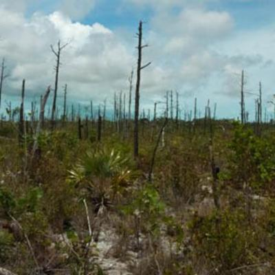 Destruction of TCI pine forests
