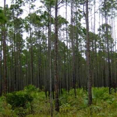 Pinus caribaea (Caribbean pine)