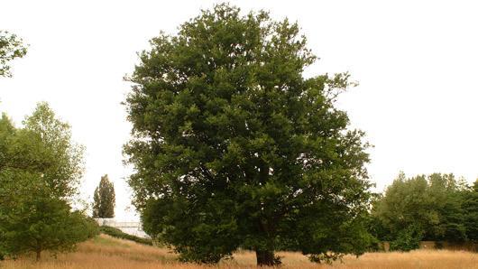Zelkova carpinifolia pall dippel plants of the world online images altavistaventures Gallery